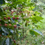 Paradise Mountain Thailand Shade Grown Coffee Beans
