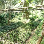 Chiang Mai Thailand Shade Grown Coffee Farm