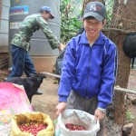 Paradise Mountain Thailand Coffee Bean Harvest