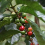 Paradise Mountain Coffee Beans on Plant