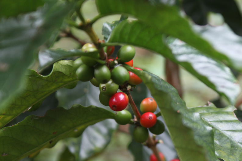 Thailand's Coffee Exporting Culture