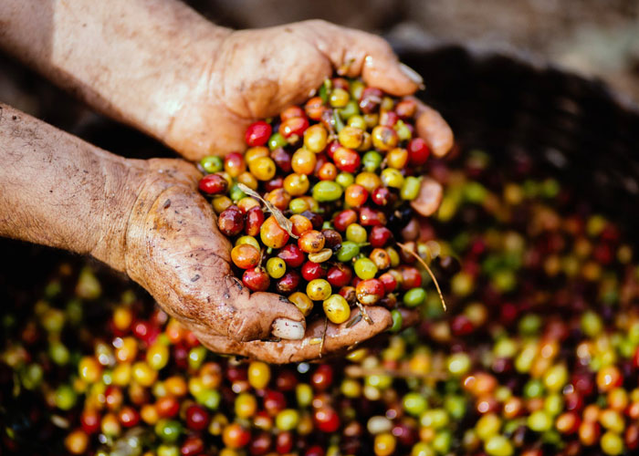 southeast asian coffee processing