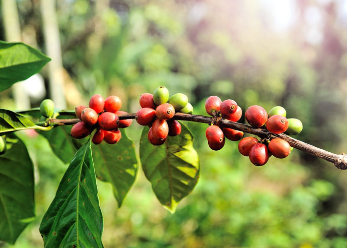 certified organic coffee beans